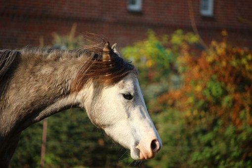 Horse, Mold, Thoroughbred Arabian, Autumn, Horse Head