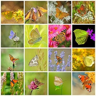 Collage, Butterflies, Butterfly, Insect, Animals