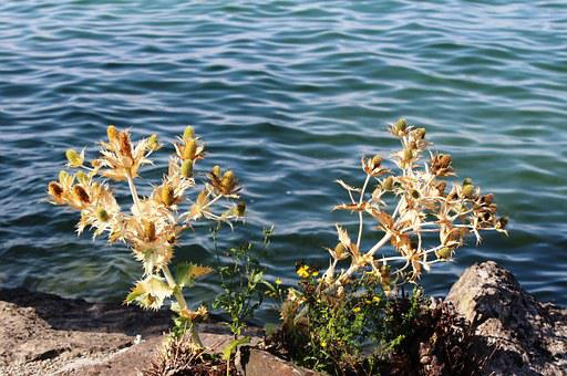 Thistles, Prickly, Faded, Bank, Shore Stones, Lakeside