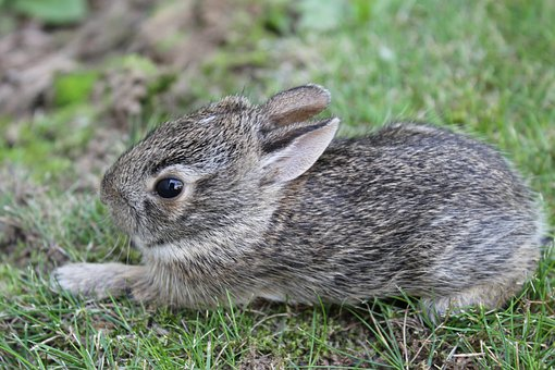 Baby Bunny, Rabbit, Cute, Animal, Small, Little, Mammal