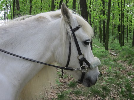 Pony, Mold, White, Mane, Ride, Horse Head, Mare, Forest