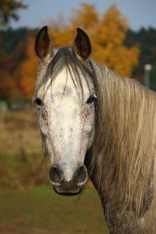 Horse, Mold, Thoroughbred Arabian, Autumn, Mane