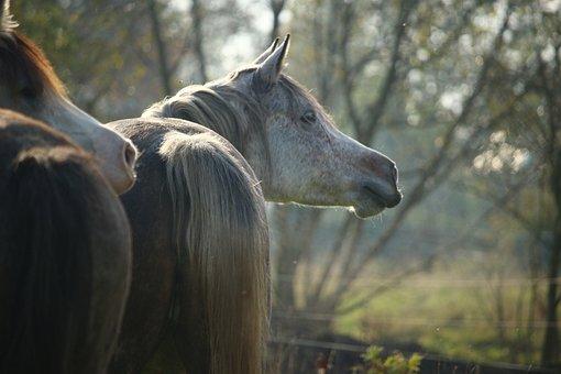 Horse, Mold, Neigh, Thoroughbred Arabian, Horse Head