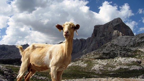 Goat, Mountain, Animal, Ibex, Nature, Asturias, Mount