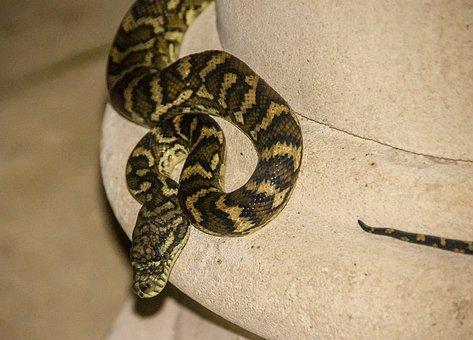 Carpet Python, Python, Australia, Queensland, Snake