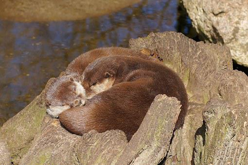 Otter, Swimmer, Water, Fur, Land Predator, Marten, Rest