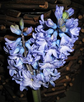 Double Hyacinth, Fragrant, Signs Of Spring, Spring