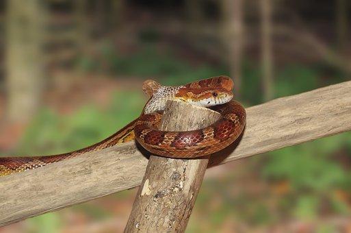 Corn Snake, Snake, Skinning