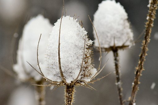 Thistles, Teasels, Thorn, Wildflower, Sharp, Snow, Ice