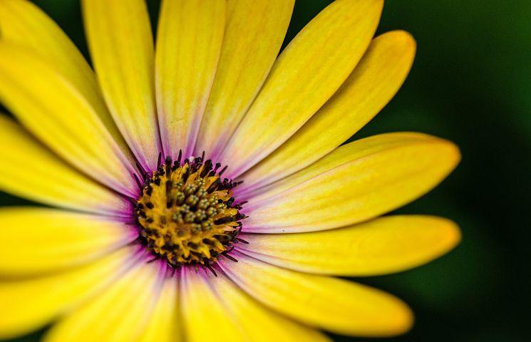 Gerbera, Flower, Yellow, Color, Daisy, Spring, Bloom