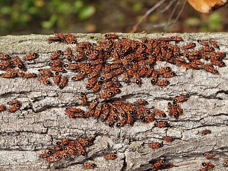 Chinch Bugs, Insect, Animal, Nature, Forest, Autumn