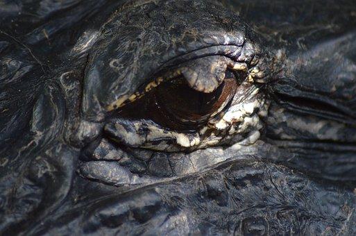 Eye, Alligator, Reptile, Animal, Florida, Nature