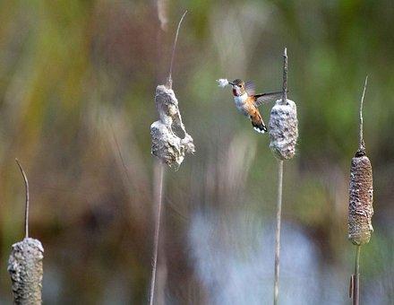 Material, Nesting, Gathers, Rufus, Selasphorus, Bird