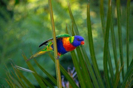 Rainbow Lorikeet, Parrot, Lorikeet, Bird, Australia