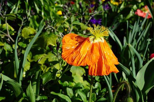 Poppy, Flower, Spring, Blossom, Bloom, Plant, Nature