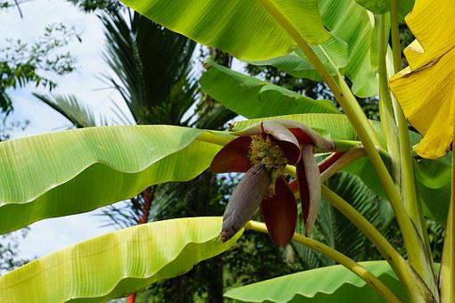Bananas, Tree, Blossom, Bloom, Flower, Spring