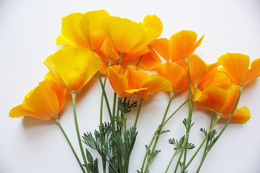 Poppies, California, Poppy, Orange, Usa, Natural