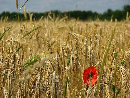 Wheat Field, Spike, Wheat, Cornfield, Poppy, Cereals
