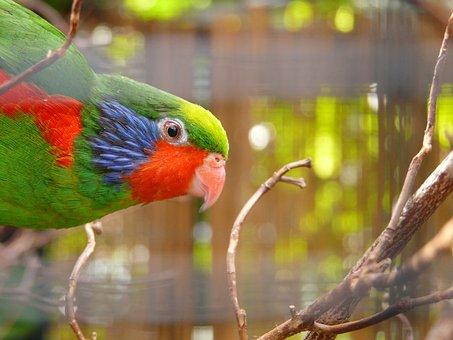 Beautiful Lorikeet, Parrot, Charmosyna Placentis, Bird