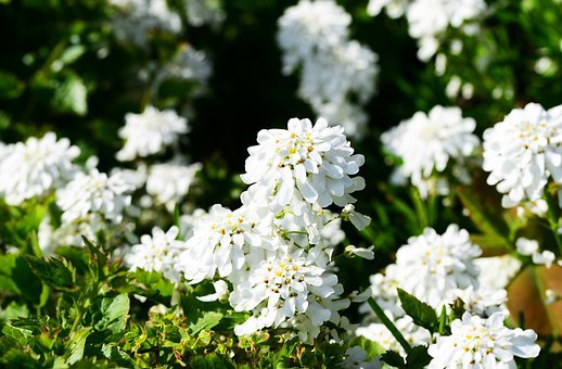 Candytuft, Perennial, Evergreen, Plant