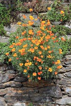 Plant, Flowers, California Poppy