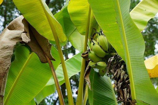 Bananas, Tree, Green, Spring, Fragrance, Aroma, Perfume