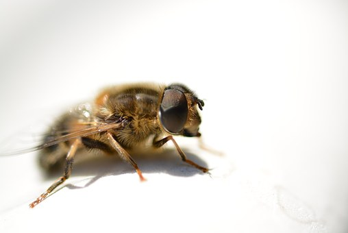 Hover Fly, Close Up, Animal, Fly