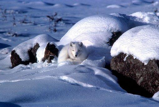Arctic, Fox, Animal, Winter, Snow, Ice, Rocks, Nature