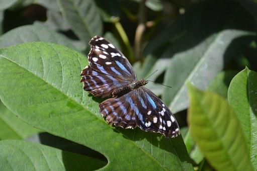 Myscelia Ethusa, Butterfly, Mexican Blue Wing, Ethusa