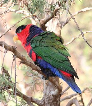 Lorikeet, Bird, Nature, Wildlife, Red, Colorful, Green