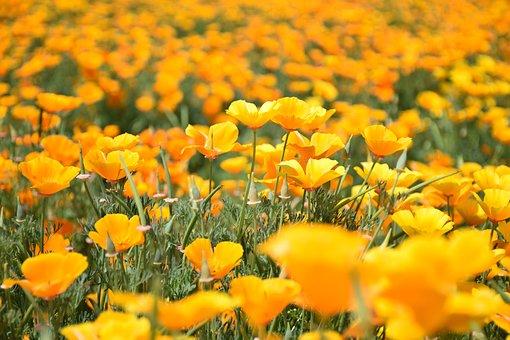 Papaveraceae Poppy Genus, Poppy, Corn Poppy, Flowering