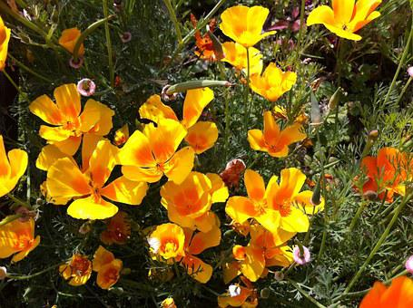 Eschscholzia Californica, Flowers, Yellow, Plant, Flora