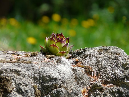 Roof Houseleek, Real Houseleek, Plant