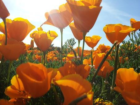 Poppies, Yellow, Flowers, Poppy, Fields, Plants, Floral