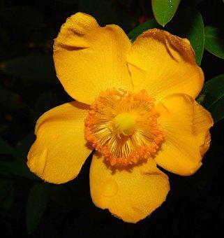 Poppy, Eschscholzia Californica, Gold Poppy, Yellow