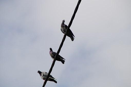 Pigeons, Power Line, Sit, Gather, Birds, Electricity
