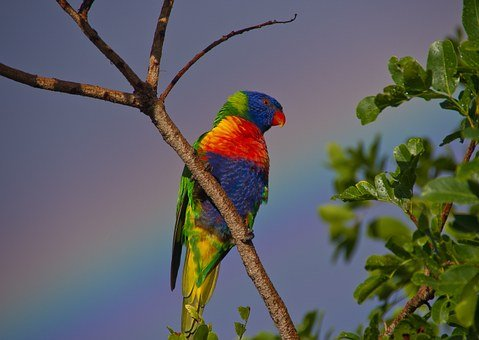 Rainbow Lorikeet, Parrot, Colourful, Bird, Rainbow, Sky