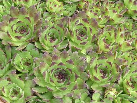 Houseleek, Plant, Leaves, Pointed, Reddish, Green