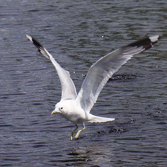 Descent, Wings Outspread, The Bird's Wings, Seagull