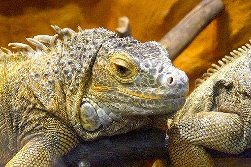 Agama, Reptile, Bearded Agama, Lizard, Dragon, Smile