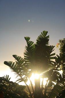 Strelitzia, Banana Tree, Wild Banana, Plant, Tree