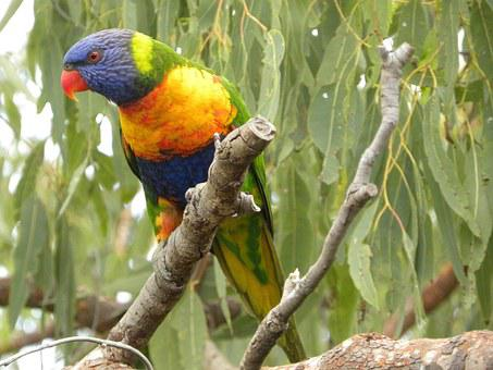 Rainbow Lorikeet, Trichoglossus Moluccanus, Birds