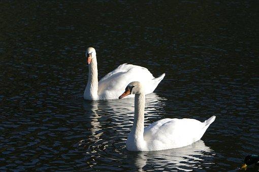 Swans, Water, Altmühl, Altmühl Valley, Essing