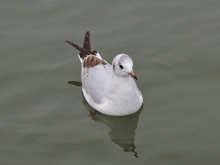 Bonaparte's Gull, Gull, Bird, Bonaparte's, Wildlife