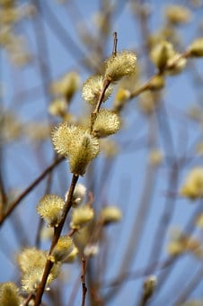Willow Catkin, Spring, Blossom, Bloom, Nature, Branches