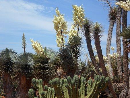 Yucca Palm, Yucca, Flora, Plant, Blossom, Bloom, Lilies