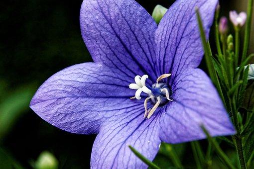 Balloon Flowe, Platycodon Grandiflorus, Violet, Blossom