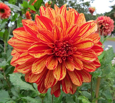 Dahlia, Orange, Red, Petals, Blossoms, Blooms, Blooming