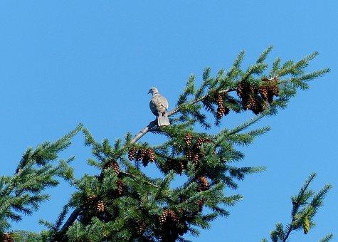 Dove, Trees, Branches, Birds, Blue Sky, Flora, Fauna
