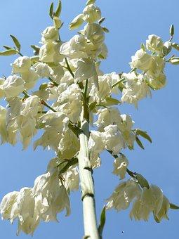 Flowers, White, Blütenmeer, Flower Fullness, Yucca